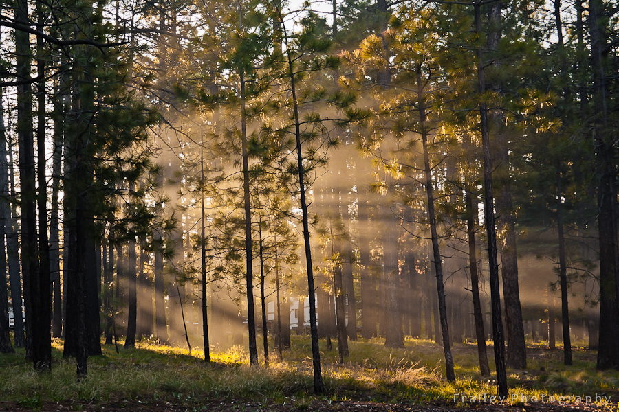 Light streaming through pine trees at dawn