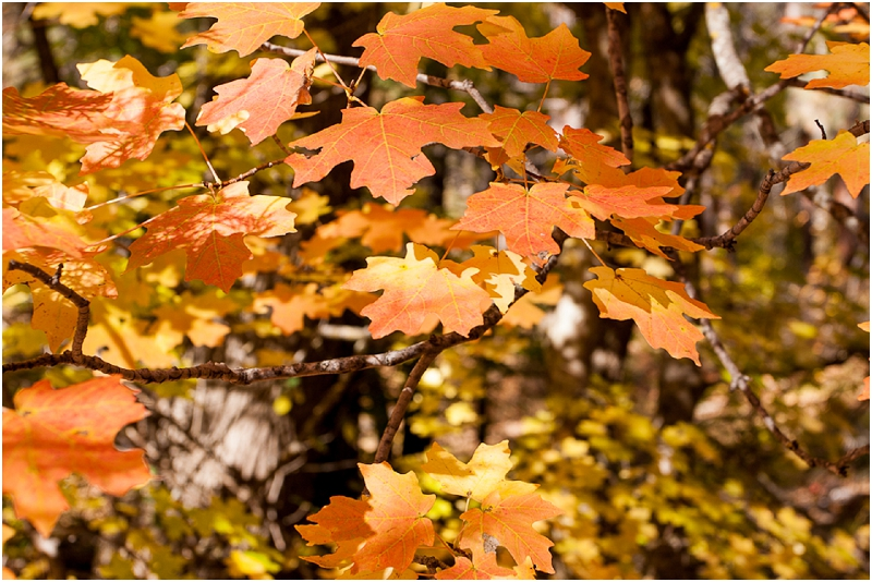 Leaves begin to change color on the West Fork Trail near Sedona Arizona.